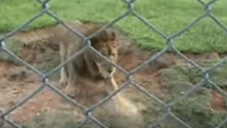 Λιοντάρι τσίρκου πατά το χώμα για πρώτη φορά μετά από 13 χρόνια (vid)