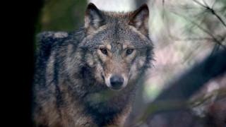 Θανάτωση λύκου προκαλεί αντιδράσεις