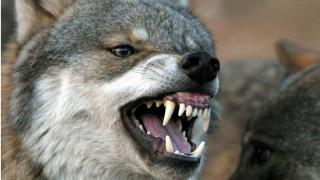 Γυναίκα παγιδεύτηκε από λύκο και σώθηκε από αρκούδα