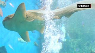 Καρχαρίας αναπαρήχθη με παρθενογένεση