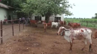 Μετά τις ιερές ήρθαν και οι ...χρυσές αγελάδες