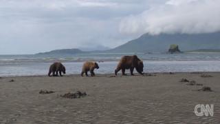 Θαυμάζοντας στο φυσικό τους περιβάλλον τις καφέ αρκούδες της Αλάσκας