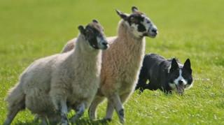 Στις Νήσους Φερόες επιστράτευσαν πρόβατα για να φτιάξουν χάρτες αντίστοιχους της Google Street