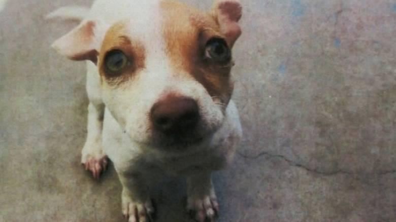 Σκύλος μπήκε σε πρόγραμμα απεξάρτισης από την ηρωίνη και είναι πλέον «καθαρός»