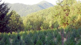 Μεσσηνία: Εντοπίστηκε «ορφανή» φυτεία με 141 δενδρύλλια χασίς