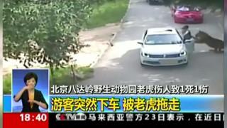 Τίγρης επιτίθεται και σκοτώνει γυναίκα (vid)