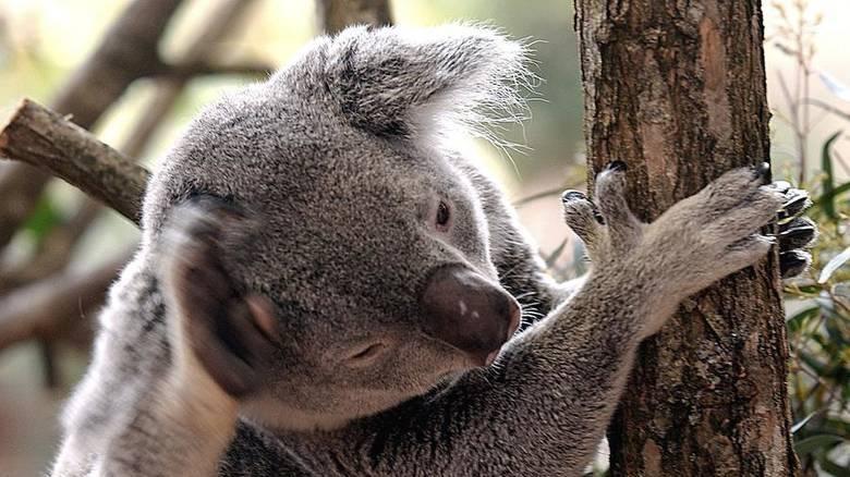 Εξυπνότερο το αυστραλιανό κοάλα από τα άλλα είδη αρκούδας