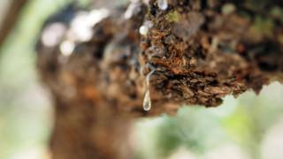Χίος: Σχεδόν ολοκληρωτική η καταστροφή των μαστιχόδεντρων