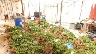 Σητεία: Σύλληψη 25χρονου για καλλιέργεια δενδρυλλίων κάνναβης