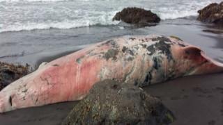 Νέο είδος φάλαινας ξεβράστηκε στην ακτή