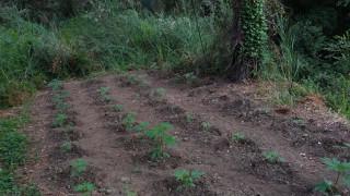 Πάτρα: 66χρονος καλλιεργούσε χασίς με το ...manual στα χέρια