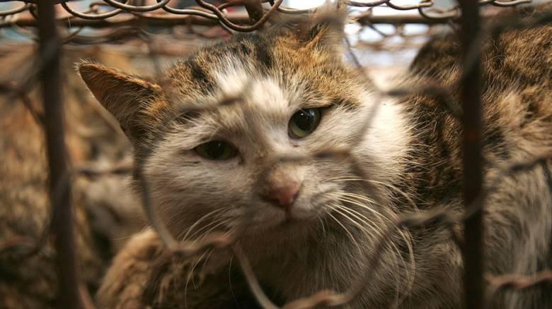 Ηλικιωμένη γάτα επιτέθηκε σε επτά πίτμπουλ και την ιδιοκτήτριά τους