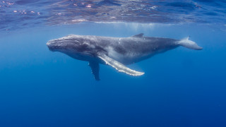 Μεγάπτερες φάλαινες: Οι «υπερήρωες» των θαλασσών