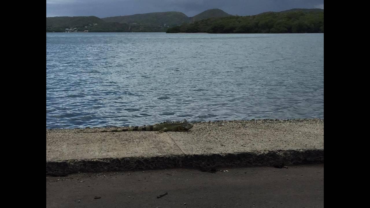 https://cdn.cnngreece.gr/media/news/2016/08/29/44440/photos/snapshot/puerto-rico-iguana.jpg