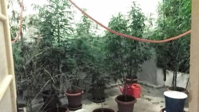 Ορεστιάδα: 80χρονος καλλιεργούσε δενδρύλλια στην αυλή του