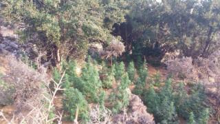 Ρέθυμνο: Βρέθηκαν 163 δενδρύλλια κάνναβης