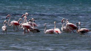 50 ροζ φλαμίγνκο στον υδροβιότοπο της Νέας Κίου