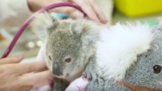 Αυστραλία: Μωρό κοάλα ξεπερνά το σοκ της απώλειας της μητέρας του με ένα λούτρινο