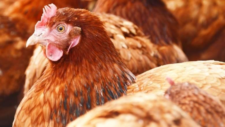 Σοβαρά τώρα: Σταματήστε να φιλάτε τα κοτόπουλα