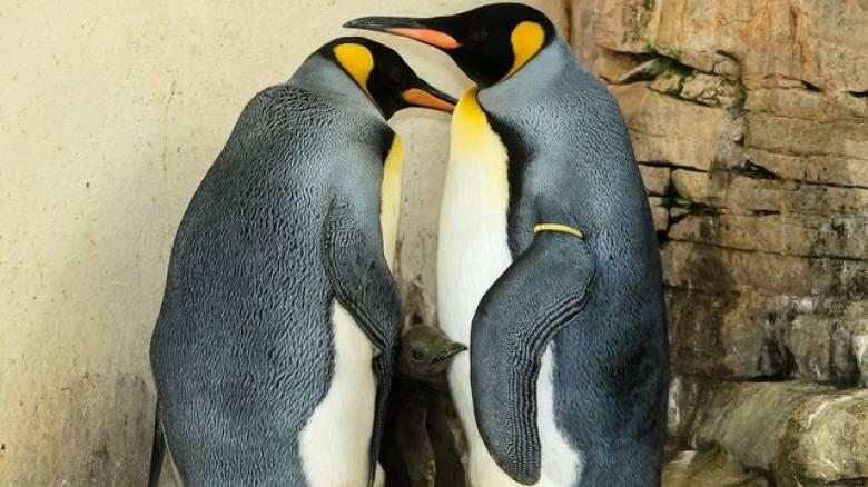 Νεαροί απήγαγαν πιγκουίνο για να διαμαρτυρηθούν για την αιχμαλωσία των ζώων