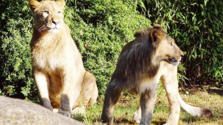 Λιοντάρια απέδρασαν από τον ζωολογικό κήπο της Λειψίας