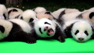 Τα panda που αγάπησαν οι πάντες