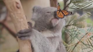 Ένα κοάλα και μια πεταλούδα σε τρυφερό ενσταντανέ
