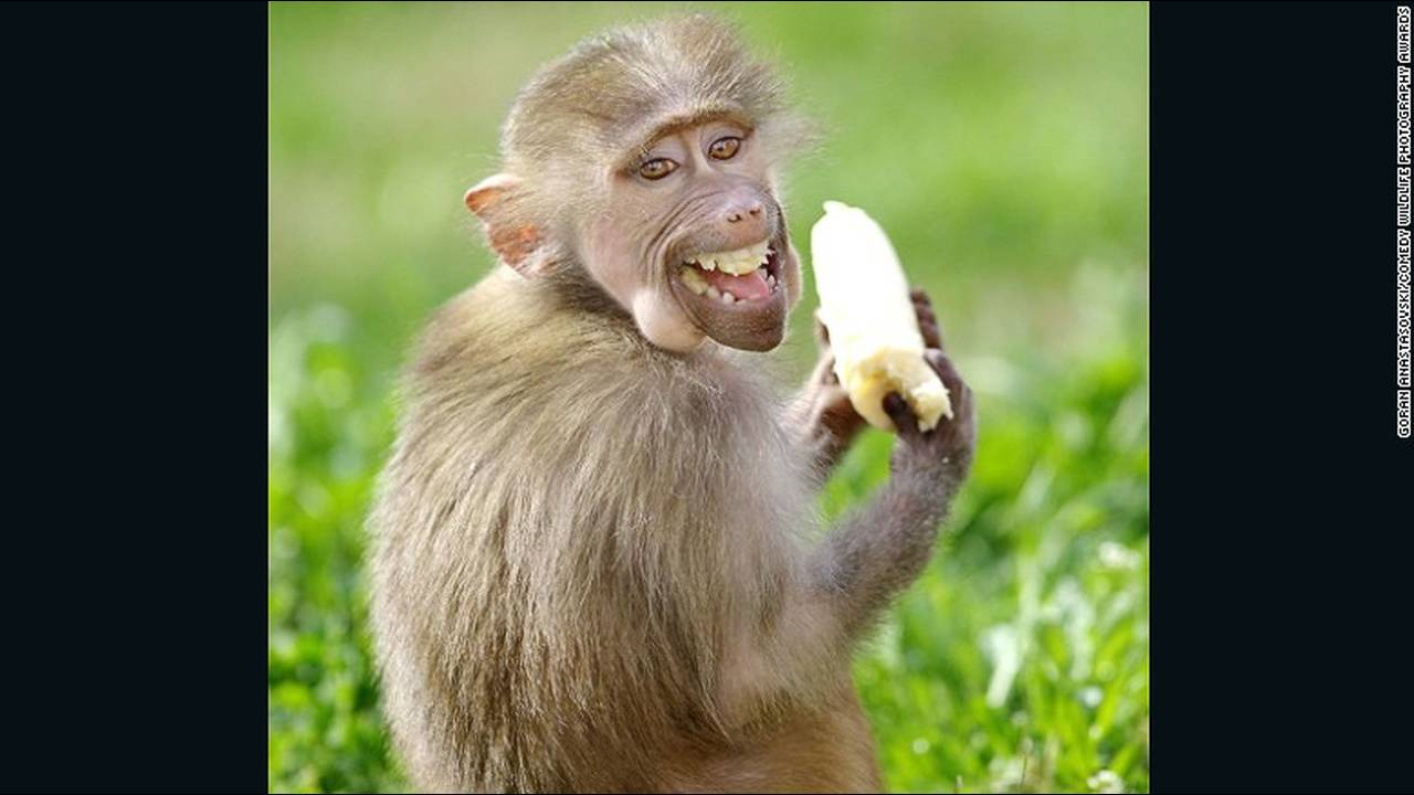 https://cdn.cnngreece.gr/media/news/2016/10/04/48912/photos/snapshot/comedy-animals-goran-anastasovski.jpg