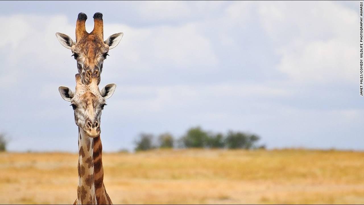 https://cdn.cnngreece.gr/media/news/2016/10/04/48912/photos/snapshot/comedy-animals-janet-miles.jpg