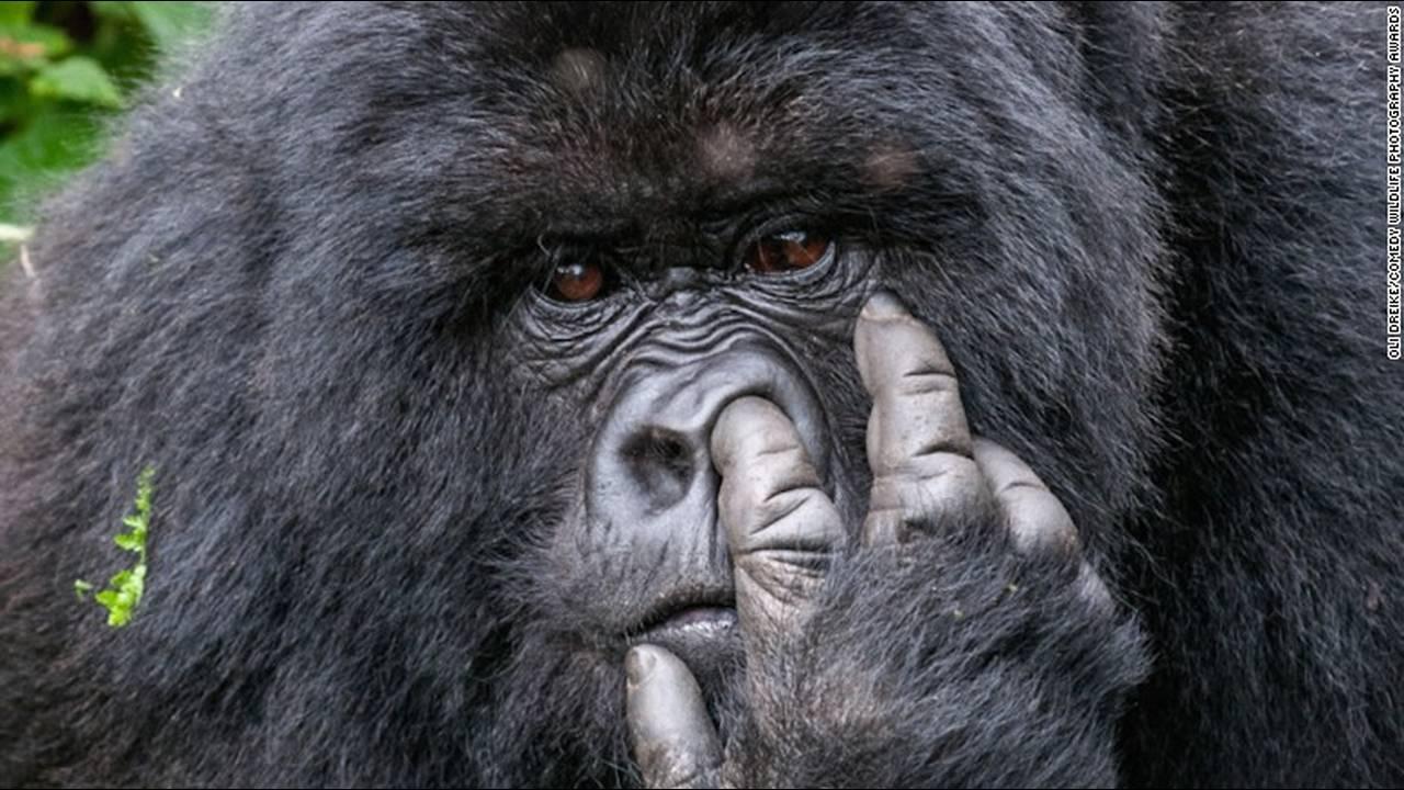https://cdn.cnngreece.gr/media/news/2016/10/04/48912/photos/snapshot/gorilla-comedy-wildlife-photography-awards.jpg