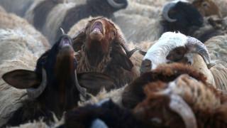 Γιατί η Αυστραλία χρειάζεται 22 εκατομμύρια πρόβατα μέχρι το 2040;
