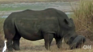 Διάσωση ρινόκερου παγιδευμένου σε λάστιχο αυτοκινήτου