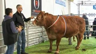 Η πιο ακριβή αγελάδα της Ευρώπης είναι «Γαλλίδα» και πουλήθηκε 23.500 ευρώ