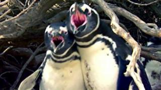 Άναψαν τα αίματα: Πιγκουίνος γυρίζει σπίτι και βρίσκει τη γυναίκα του με άλλον