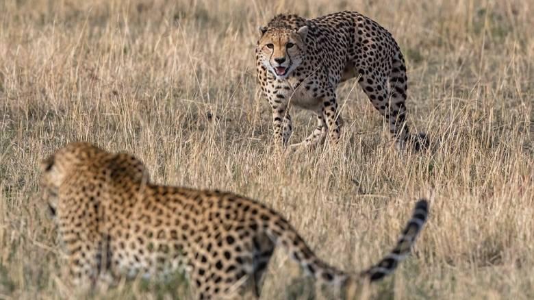 Γενναία μητέρα τσιτάχ σώζει τα παιδιά της από επίθεση λεοπάρδαλης (vid & pics)
