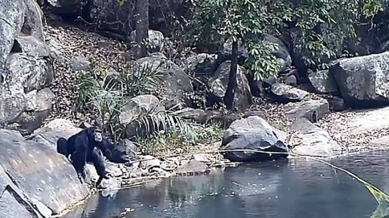 Επιστήμονες κατέγραψαν χιμπατζήδες να χρησιμοποιούν κλαδιά για ψάρεμα