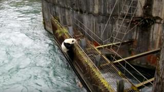 Επικίνδυνη αποστολή: Panda παγιδεύτηκε σε φράγμα
