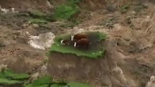 Αγελάδες εγκλωβίστηκαν σε κατεστραμμένο λιβάδι μετά τον σεισμό στη Νέα Ζηλανδία (vid)