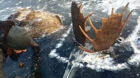 Για τα μάτια ενός θηλυκού: Άνακάλυψε δύο παγωμένα ελάφια που πάλευαν σε ποτάμι στην Αλάσκα