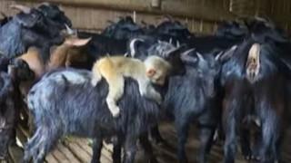 Μαύρη κατσίκα έγινε το... ταξί μιας μικρής μαϊμούς (vid)