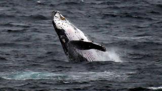 Φάλαινα έκοβε βόλτες κοντά στο άγαλμα της Ελευθερίας (vid)