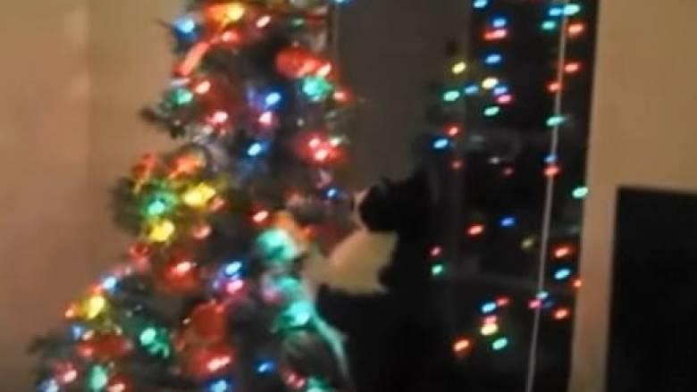 Όταν οι γάτες «παλεύουν» και... εξερευνούν τα χριστουγεννιάτικα δέντρα (vids)