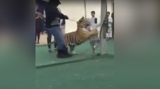 Τίγρη επιτίθεται σε μικρό κορίτσι μέσα σε εμπορικό κέντρο της Σαουδικής Αραβίας (Vid)