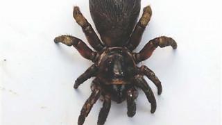 Μια εξαιρετικά σπάνια αράχνη, το πιο τρομακτικό κατοικίδιο στην Κίνα