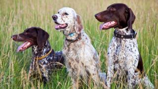 Ζάκυνθος: Ασυνείδητοι έχουν θανατώσει δεκάδες κυνηγόσκυλα με φόλες