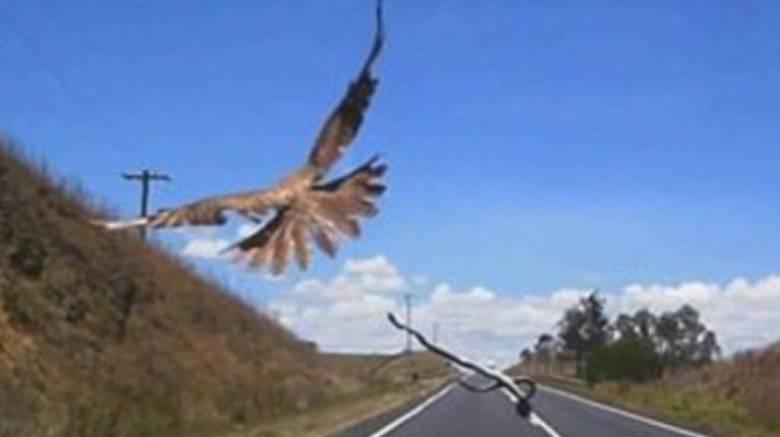 Γεράκι πετά φίδι πάνω σε αυτοκίνητο εν κινήσει