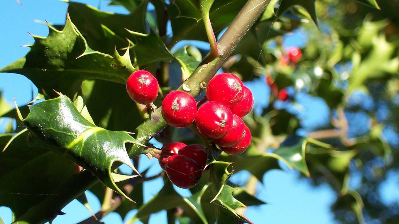 Χριστούγεννα: Η «πλούσια» ιστορία του φυτού-συμβόλου των γιορτών