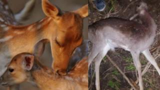 Ρόδος: Συνεχίζονται οι έρευνες για τη θανάτωση των 14 ελαφιών