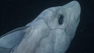 Καρχαρίας φάντασμα «συλλαμβάνεται» για πρώτη φορά από κάμερα (Vid)