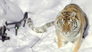 Drone καταγράφει τη ζωή τίγρεων στα χιονισμένα βουνά του Καναδά (Vid)